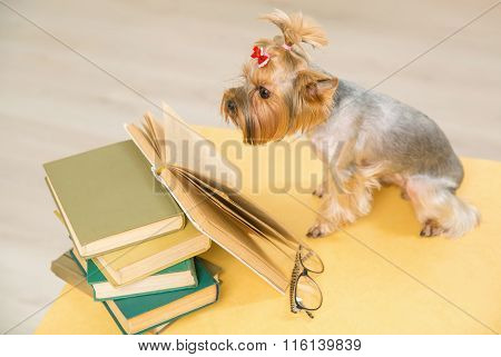 Yorkshire terrier is looking into book on the table.