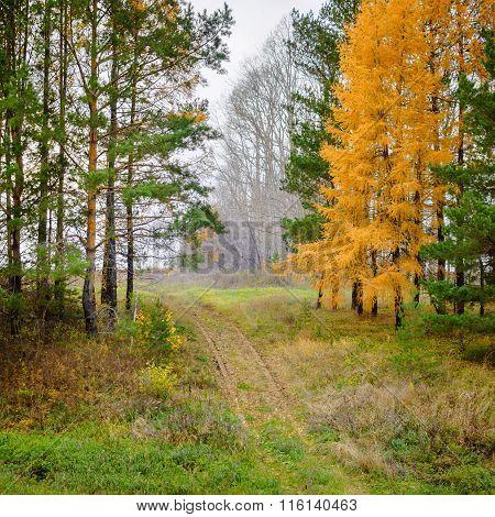 Autumn conifer trees