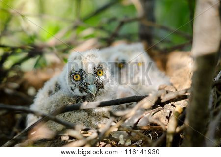 Long-eared Owl Little chicks in the nest