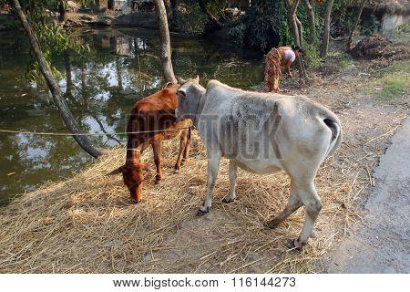 KUMROKHALI, INDIA - DECEMBER 01: Cattle grazing in village Kumrokhali, West Bengal, India on December 01, 2012