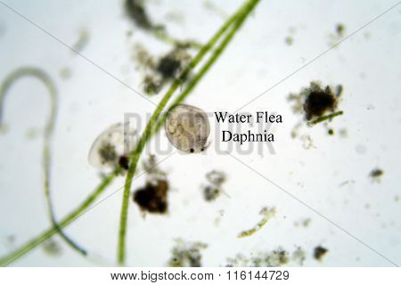 Microscopic fresh water animal Water Flea aka Daphnia as seen through a microscope at 100 times its size, photo taken with a DSLR with an adaptor. Microscopic biological life sciences.