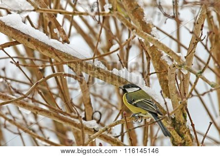 Male Great tit bird (Parus major) with drops of water on its feather perching on a tree branch with snow in Europe