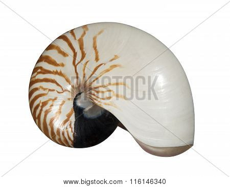 nautilus pompilius shell isolated on white background, clipping path