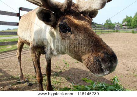 Young Curious Elk
