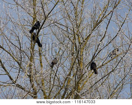 Black crows in the tree, autumn background. Black crows on sunny cold winter day