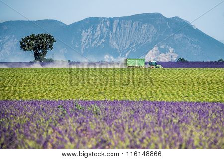 Lavender field in a beautiful landscape