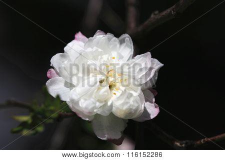 Dwarf Flowering Cherry,Dwarf Flowering Almond