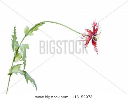 Flower Of Red Poppy Isolated