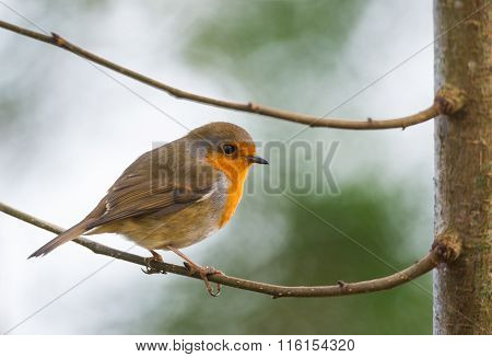 robin bird perched between two tree branches