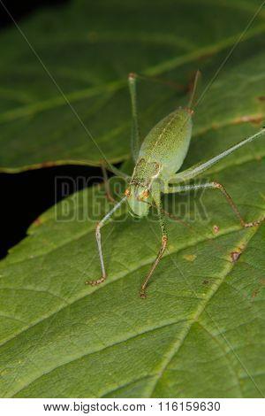 Speckled Bush-cricket (leptophyes Punctatissima)