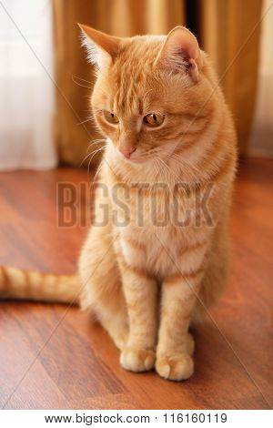 Ginger cat sitting at home on wooden background