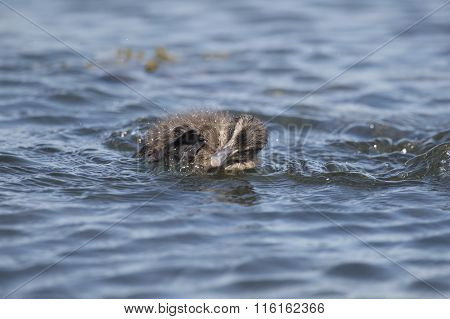 Eider duck juvenile swimming in the sea preening itself