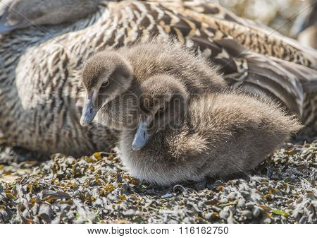 Eider duck juveniles on a seaweed covered rock