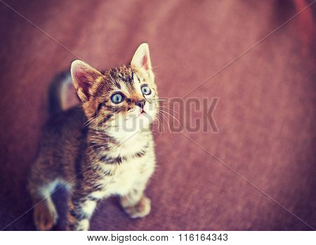 Little Tabby Kitten On The Carpet, Nature