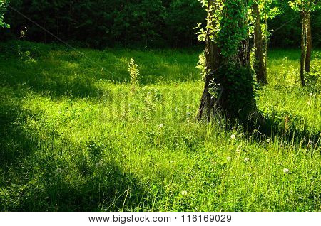 Sunny Summer Green Forest Glade