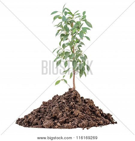 Young Lemon Tree Growing From The Pile Of Earth