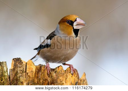 Hawfinch Coccothraustes On A Branch