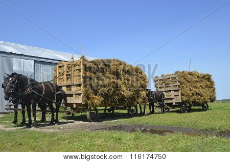 Horses pulling loads of oat bundles
