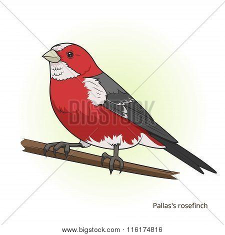 Pallas rosefinch bird educational game vector