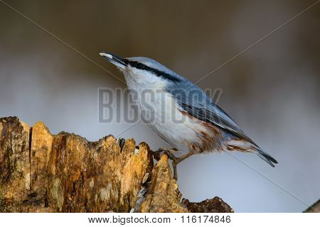 Eurasian Nuthatch, Cute Singing Bird
