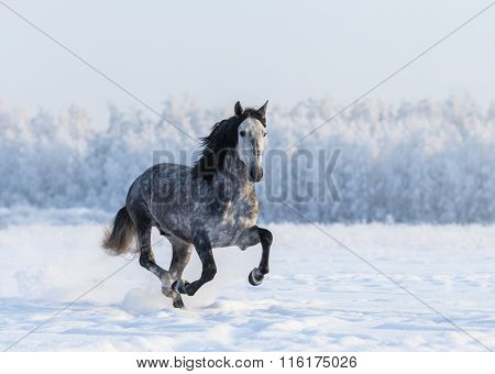 Galloping grey Purebred Spanish horse
