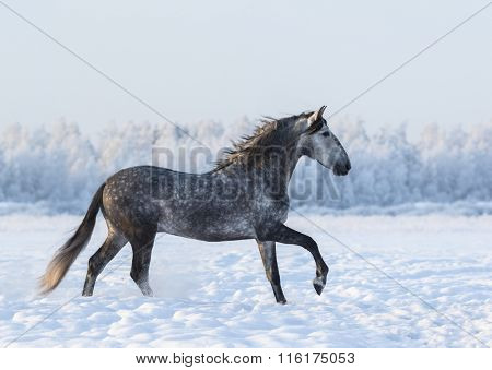 Grey Spanish horse cantering on field at winter time