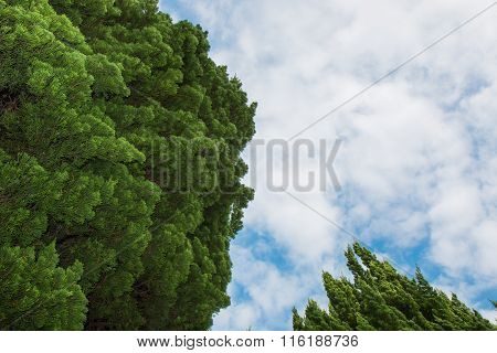 Treetops Of Two Trees Under The Cloudy, Blue Sky