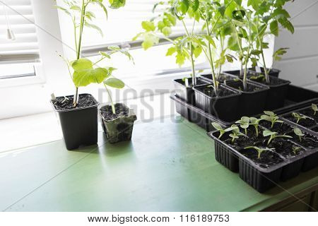 tomato and cucumber seedling