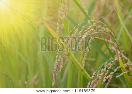 Rice Spike In Rice Field In Japan.