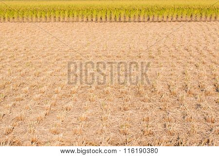 Rice Field - Stubble And Chaff After Harvesting.
