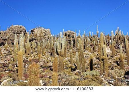 Cactus Island 1506