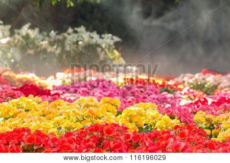 Selective Focus Of Colorful Begonia Flowers With Water Spray ,selective Focus