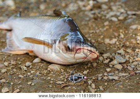 Striped Catfish Fishing