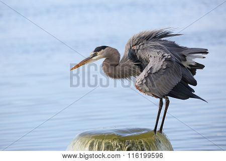 Great Blue Heron Perched On A Water Outflow Pipe
