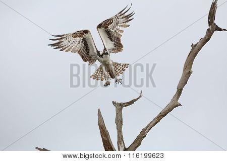 Osprey Taking Flight From A Dead Tree - Florida