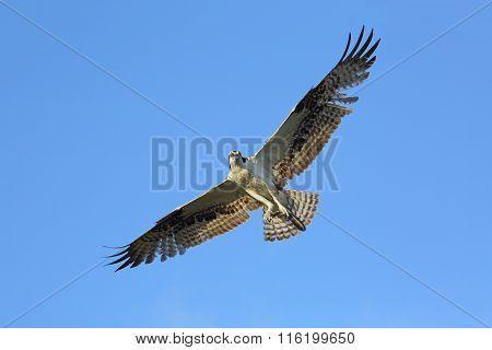 Osprey Soaring Overhead - Florida