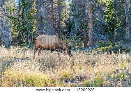 Elk In Rocky Mountains National Park