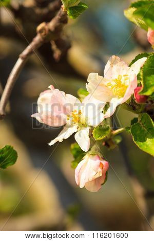 Nature. Pink Blossoms On The Branch Of Apple Tree