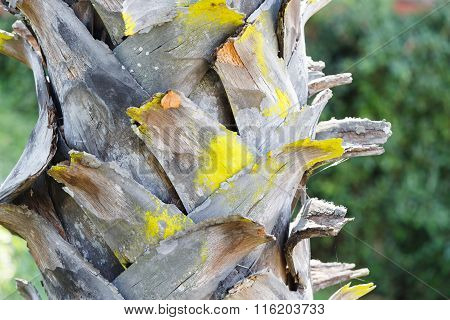 Bark Of Plam Oil Tree