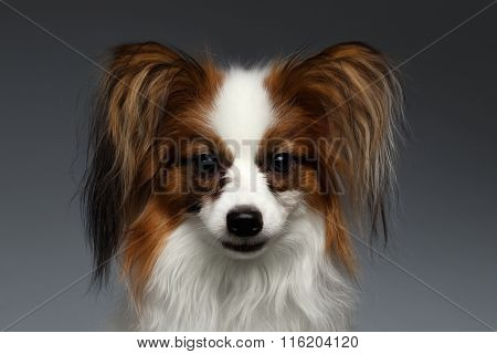 Closeup Portrait Of White Papillon Dog Looking In Camera