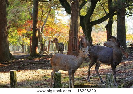 Nara deer roam free in Nara Park Japan