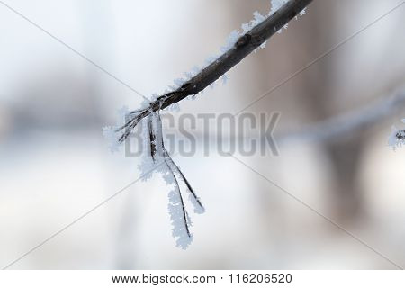 Tree Branch In Frost