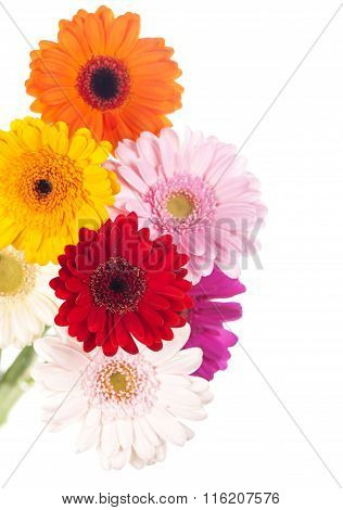Gerbera flower isolated on white background