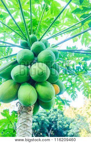 Papaya Plant Of Thailand