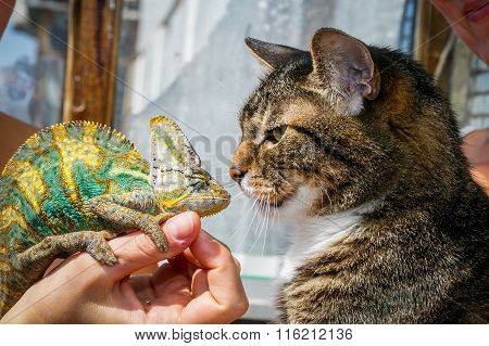 Portrait Of A Domestic Cat Close Up With A Chameleon