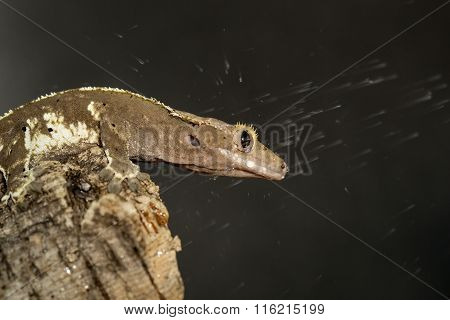 New Caledonian Crested Geckos Under The Water
