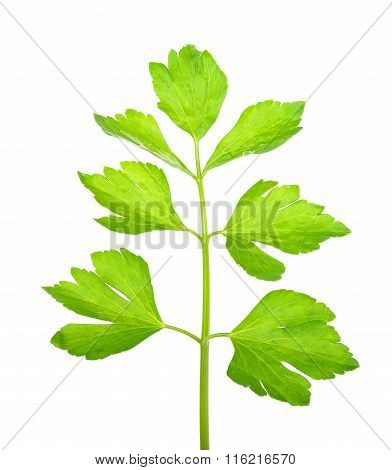 Celery Isolated On The White Background