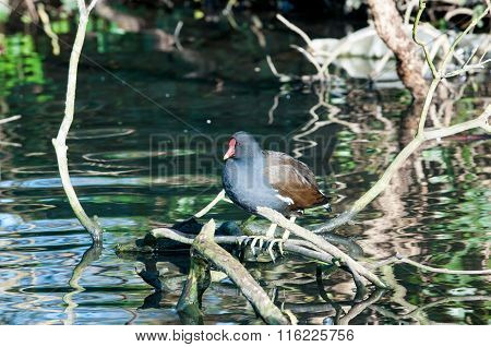 Moorhen on a branch