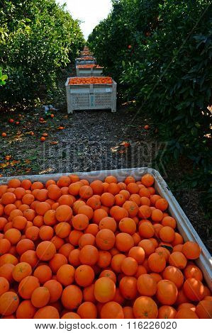 Picked Oranges