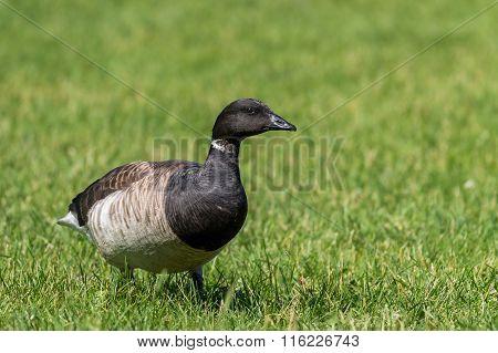 Brant Goose, Branta Bernicla